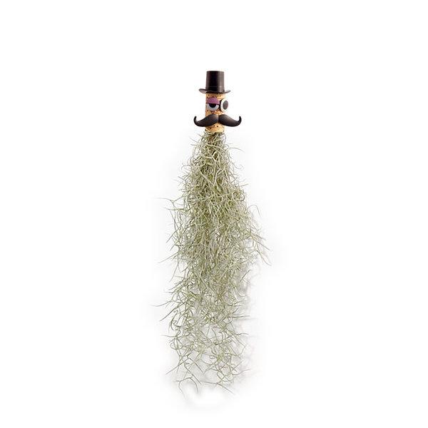 틸란드시아 어벤져스 시리즈 - 수염틸란드시아 루팡 상품이미지