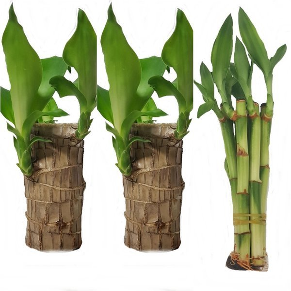 행운목 3개 개운죽12cm~100cm  마리모 틸란 수경식물 상품이미지