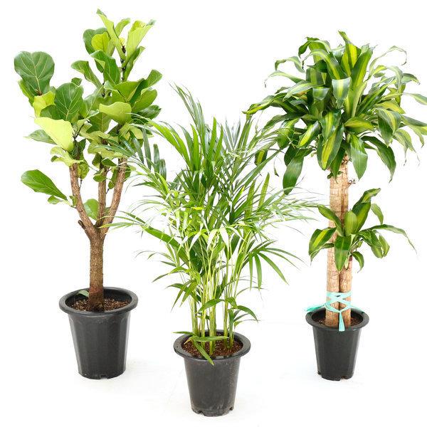 공기정화식물 대형식물 극락조 아레카야자 행운목 상품이미지