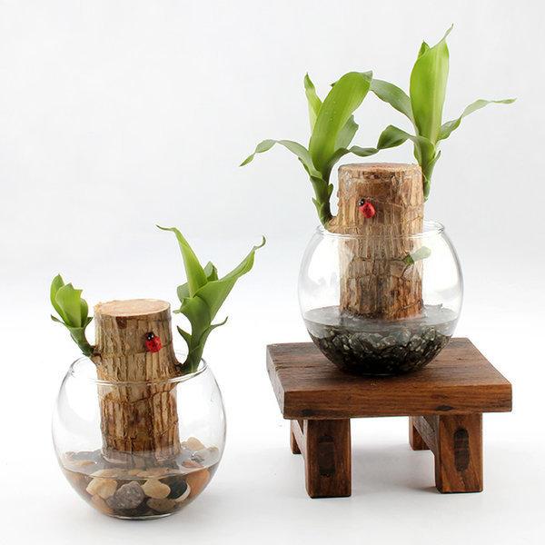가꾸지오 공기정화 수경식물 샤베트행운목 24종 상품이미지