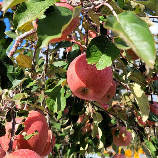 경북 안동 부사 꿀맛사과 가정용 흠집과 5kg 10kg 상품이미지