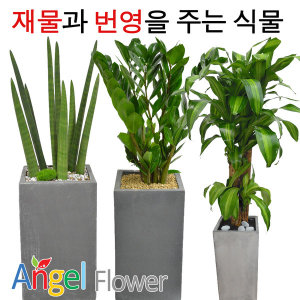인기폭발 공기정화식물 초특가 개업화분 전국꽃배달