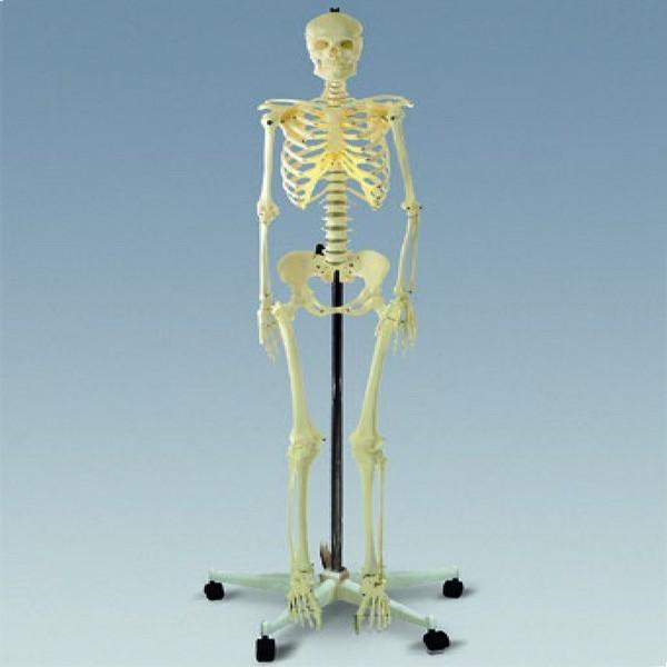 인체골격모형A형(실물규격)뼈구조/골격본 상품이미지
