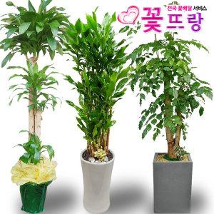 전국꽃배달 2m대형화분 행운목 개업화분 금전수황금죽