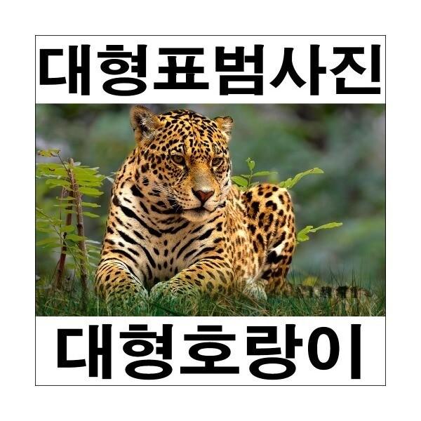 A272-1/표범/호랑이/호랑이그림/호랑이사진/풍경사진 상품이미지