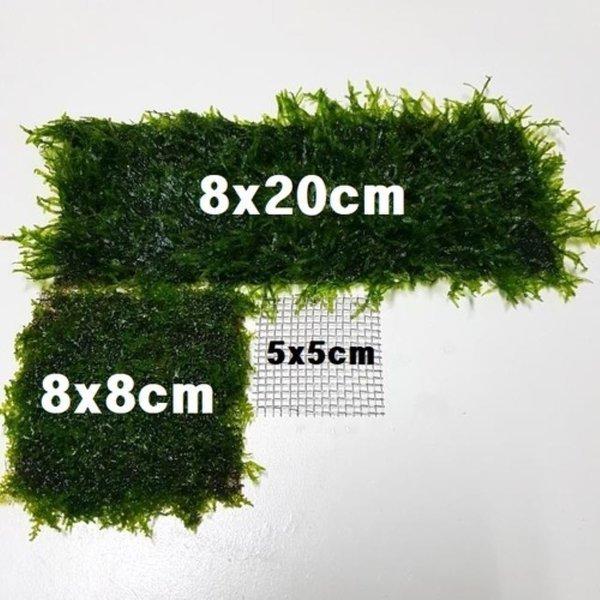 위핑모스 활착(8x8cm)/음성수초 모스키우기 상품이미지