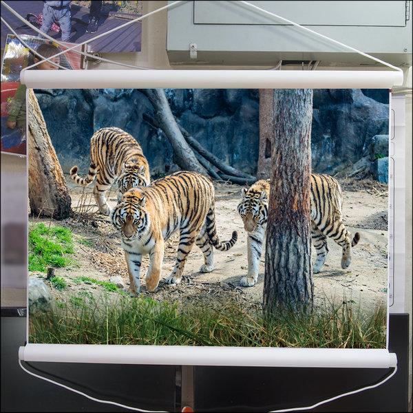 A682-1/호랑이/호랑이그림/호랑이사진/풍경사진 상품이미지