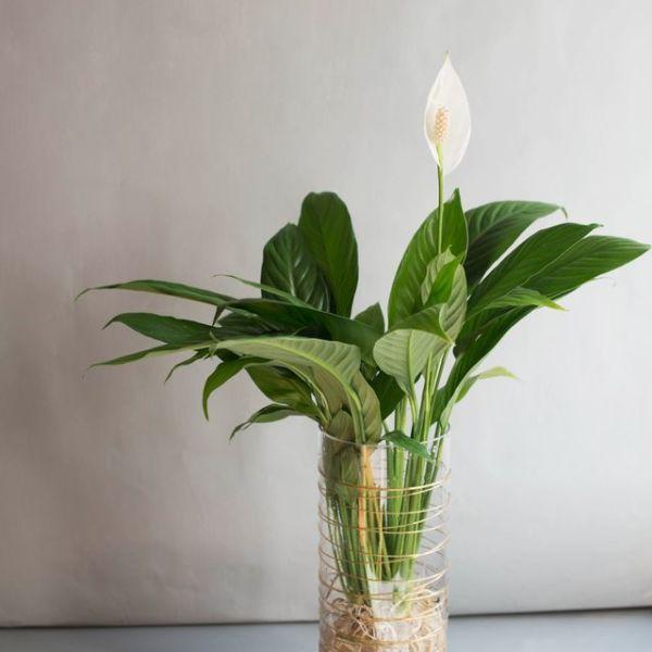 수경 식물 스파티필름 공기정화식물 세트 (L) 상품이미지