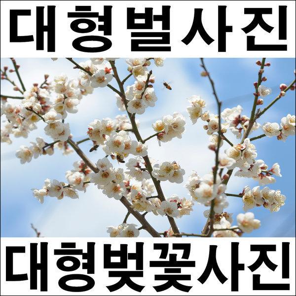 A296-1/풍경사진/벌사진/벚꽃사진/대형사진/인테리어 상품이미지