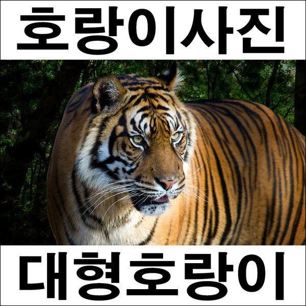 C508-2/호랑이/호랑이그림/호랑이사진/풍경사진 상품이미지