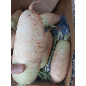 햇무우 제주월동무 세척무 (4~7개)5~7kg 특가