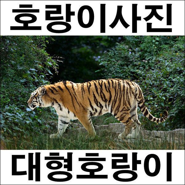 A305/호랑이/인테리어소품/호랑이그림/호랑이사진 상품이미지