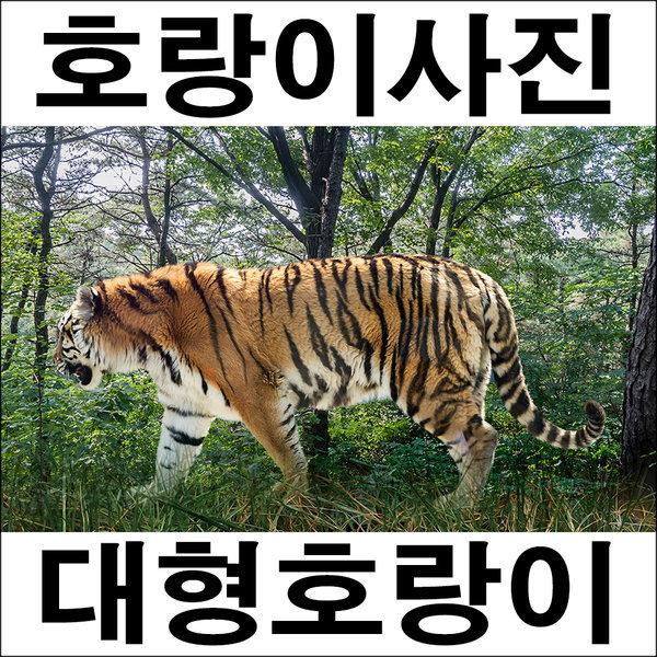 A283/호랑이/호랑이그림/호랑이사진/풍경사진 상품이미지