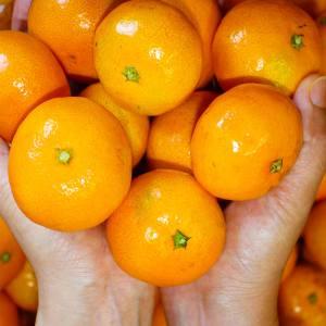 천하일품 제주 감귤 비가림감귤 5kg 로얄랜덤(2S-S/M)