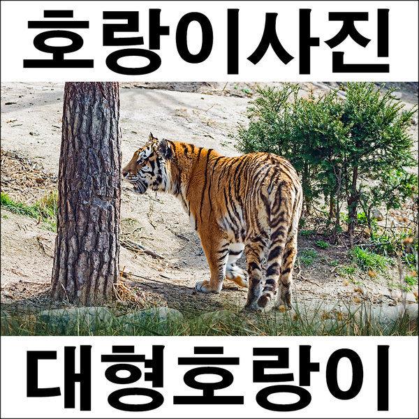 A018/호랑이/호랑이그림/호랑이사진/풍경사진 상품이미지
