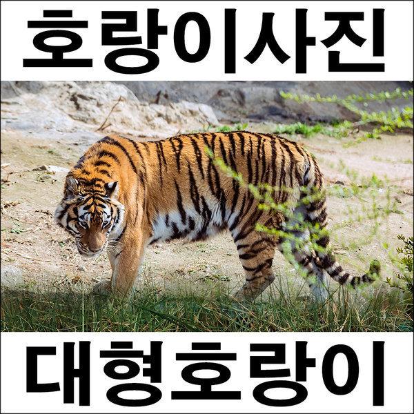 A273/호랑이/호랑이그림/호랑이사진/풍경사진 상품이미지