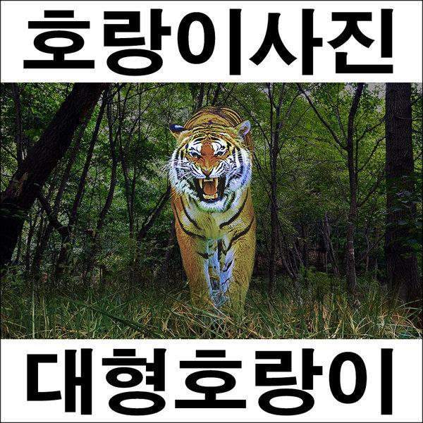 E069/호랑이/호랑이그림/호랑이사진/풍경사진 상품이미지