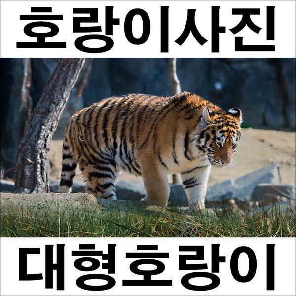 D075/호랑이/호랑이그림/호랑이사진/풍경사진 상품이미지