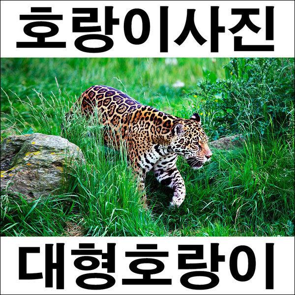 C328/표범/호랑이그림/호랑이사진/인테리어소품 상품이미지