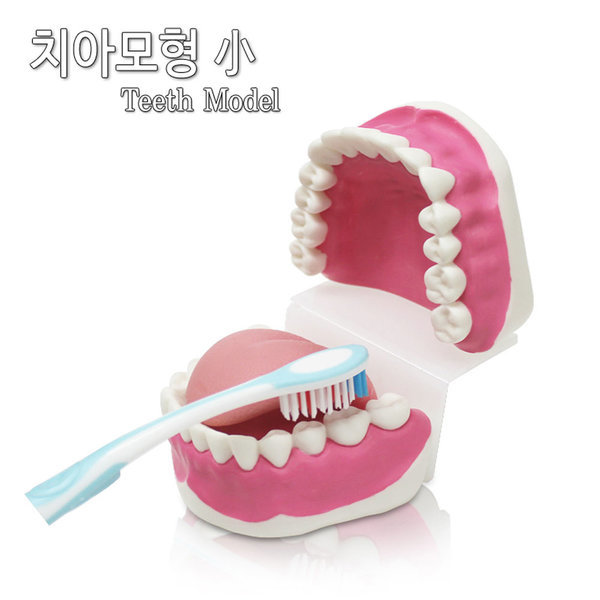 치아모형 大  칫솔포함 상품이미지