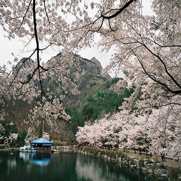 (봄꽃여행)대전출발/마이산벚꽃/진안마이산/신비의탑사/전주한옥마을/벚꽃여행/당일여행/버스여행 상품이미지