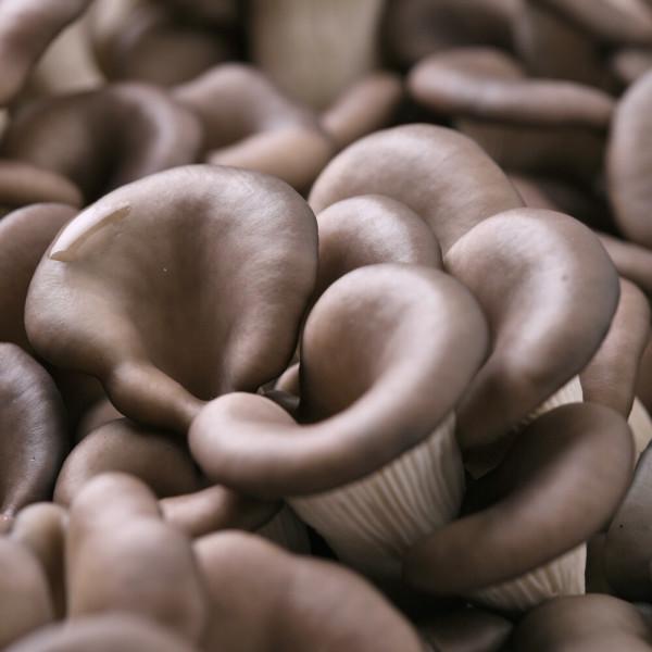 (G마켓이간다) 청원생명 무농약 느타리버섯 1kg 상품이미지