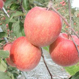 제철과일 햇 사과 가정용아오리사과4kg중소과18과내외