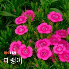 채소나라 패랭이 야생화 씨앗 1kg