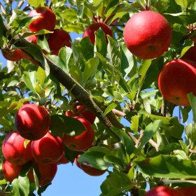 황금열매 국내산 맛있는 가정용 흠집 사과   5kg 중과