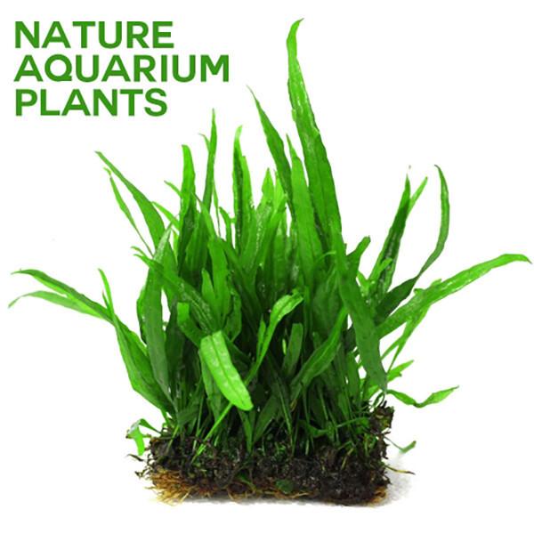 미크로소리움 네로잎 1판 /활착수초 상품이미지