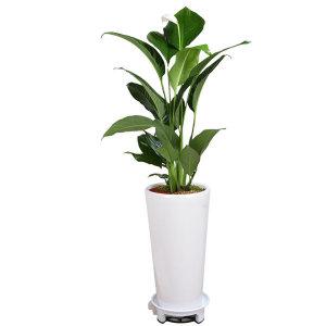 공기정화식물 관엽식물 개업화분 전국꽃배달 당일