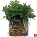 5년근 작은 산양삼(소삼) 50뿌리 선물세트