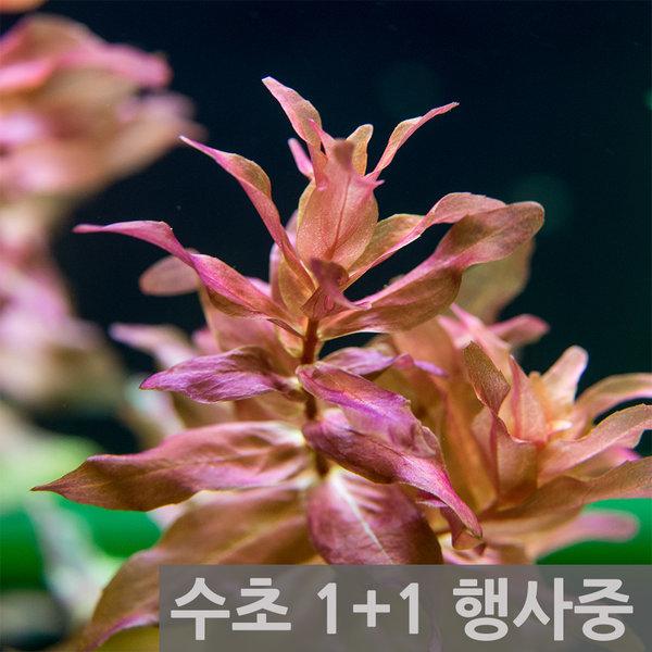 1+1행사중/수초/쉬운수초/수초어항/수초세트/수생식물 상품이미지