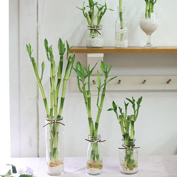 가꾸지오 공기정화식물 개운죽 6종 수경식물 상품이미지