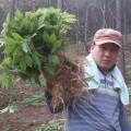 5년근 작은 산양삼(소삼) 30뿌리 선물세트
