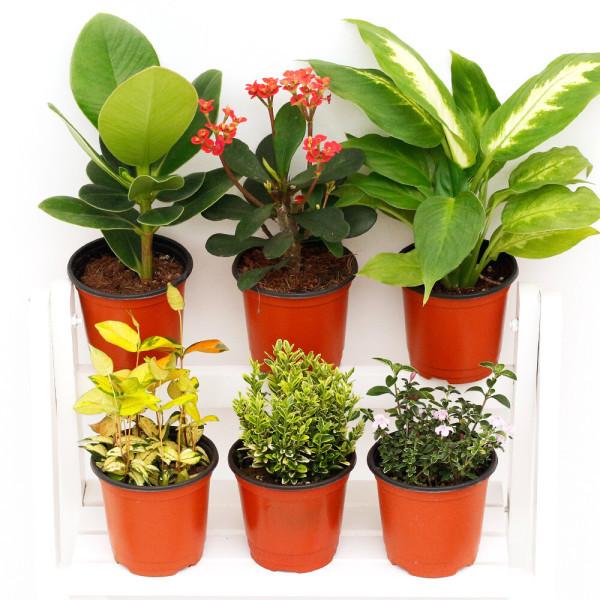 아침향기 공기정화식물 1+1 무료배송  관엽식물화분 상품이미지