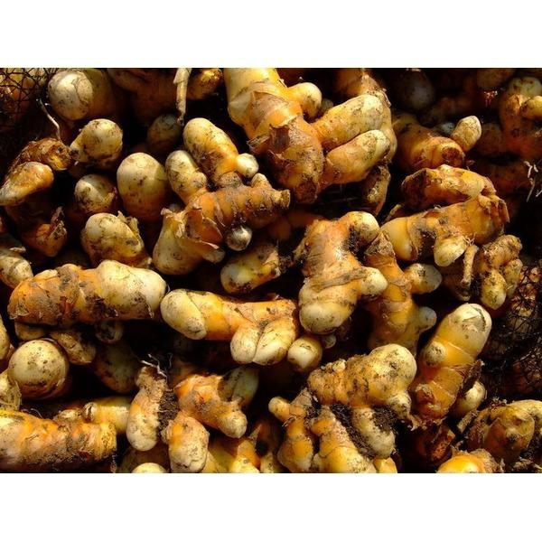 울금종자 1kg/울금종근/울금씨앗/강황종자/강황종근 상품이미지