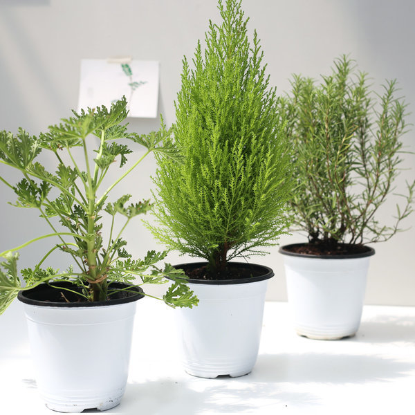 1+1 미세먼지 공기정화식물 중형대형화분 아레카야자 상품이미지
