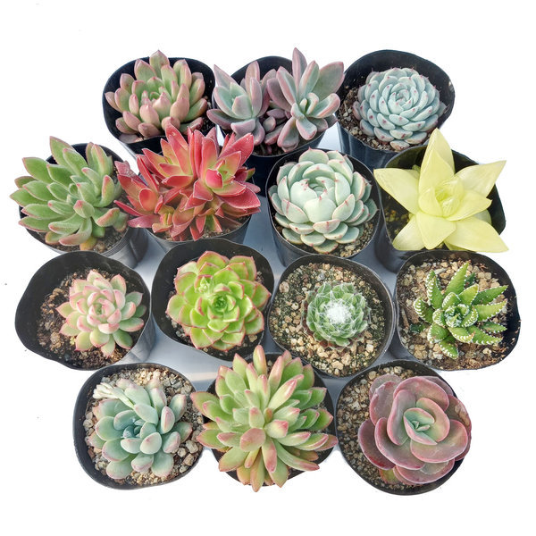 다육식물 다육이 공기정화식물 선인장 다육화분 부용 상품이미지