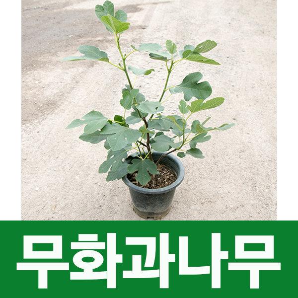 소울라인 무화과나무 무화과묘목 열매나무 공기정화 상품이미지
